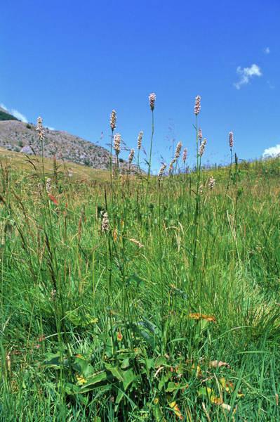 Heal Photograph - Bistort Flowers (polygonum Bistorta) by Bruno Petriglia/science Photo Library