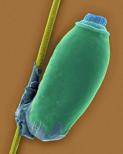 Chewing Wall Art - Photograph - Biting Louse Egg Case by Dennis Kunkel Microscopy/science Photo Library