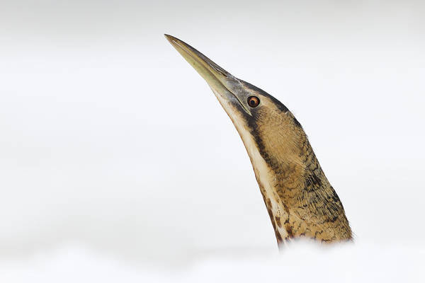 Waterbird Photograph - Bittern Times by Roeselien Raimond