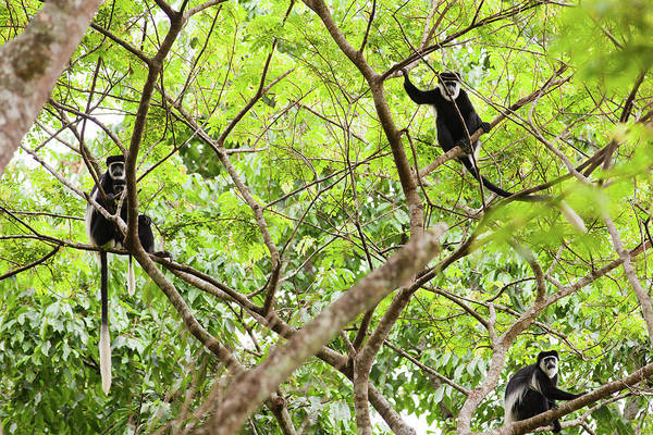 Leaf Monkey Wall Art - Photograph - Black &amp White Colobus On The Tree by 1001slide