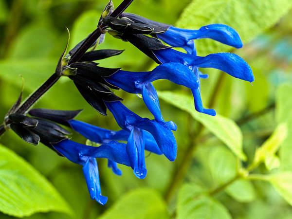 Photograph - Black And Blue Salvia by Charles Hite