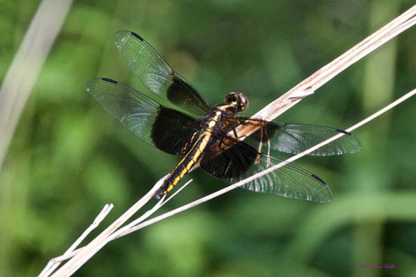 Photograph - Black And Gold Dragonfly by Kristin Hatt