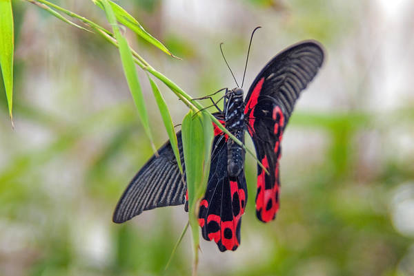 Photograph - Black And Red Beauty by Tam Ryan