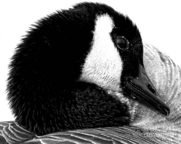 Photograph - Black And White Canada Goose by Sue Harper