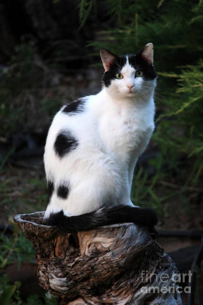 Photograph - Black And White Cat On Tree Stump by Carol Groenen