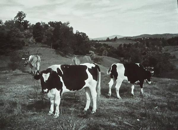 Photograph - Black And White Cows by Joan Reese