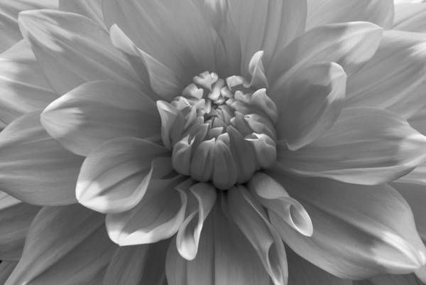 Photograph - Black And White Dahlia by Clint Buhler