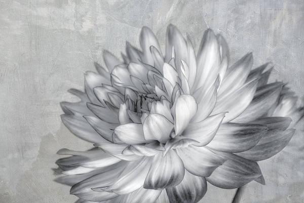 Photograph - Black And White Dahlia by Kim Hojnacki
