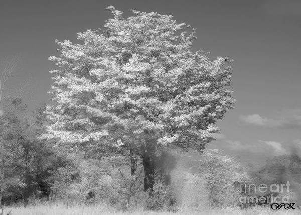 Photograph - Black And White Dogwood  by Wanda Krack