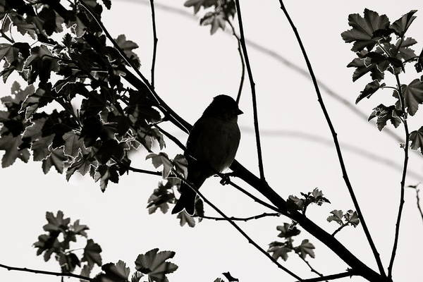 Photograph - Black And White Finch by Diana Hatcher