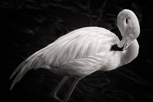 Flamingos Wall Art - Photograph - Black And White Flamingo by Adam Romanowicz