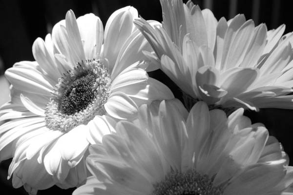 Photograph - Black And White Gerbers by Natalie Rotman Cote