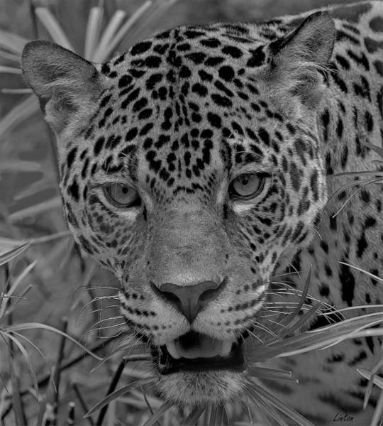 Photograph - Black-and-white Jungle Cat by Larry Linton