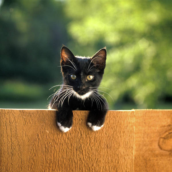 Black Cats Photograph - Black And White Kitten Peering Over Top by Vintage Images