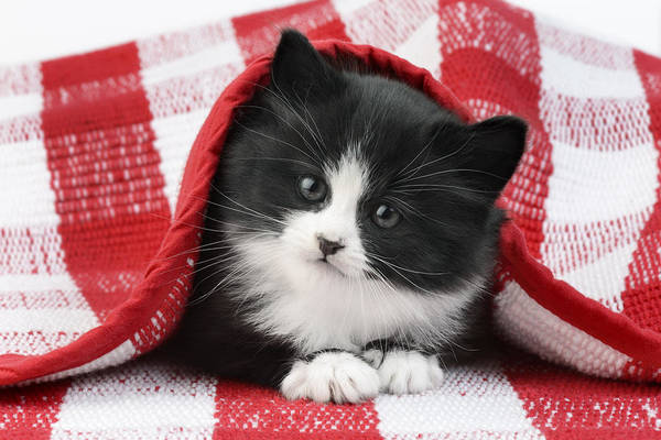 Black Cats Photograph - Black And White Kitten Under Gingham by MGL Meiklejohn Graphics Licensing