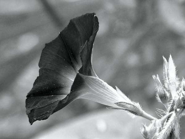 Photograph - Black And White Morning Glory by Carol Montoya