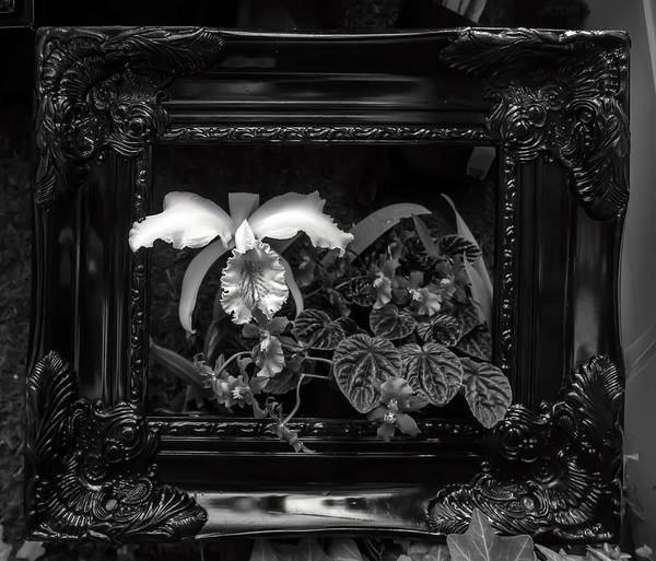 Photograph - Black And White Orchid Flowers Growing Through Old Wooden Pictur by Alex Grichenko