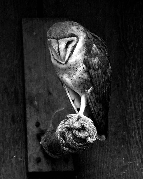 Wall Art - Photograph - Black And White Painted Barn Owl by Steve McKinzie