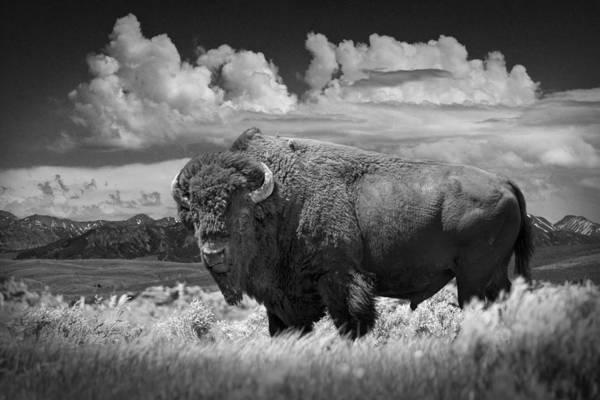 Black And White Photograph Of An American Buffalo Art Print