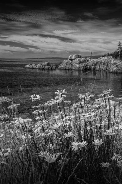 Photograph - Black And White Photograph Of Daisies On Maine's Acadia Shoreline by Randall Nyhof