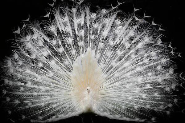 Peacock Photograph - Black And White, by Pino Liddi