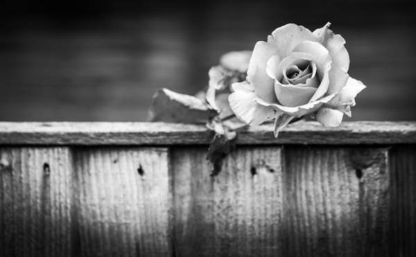 Photograph - Black And White Rose by Gary Gillette