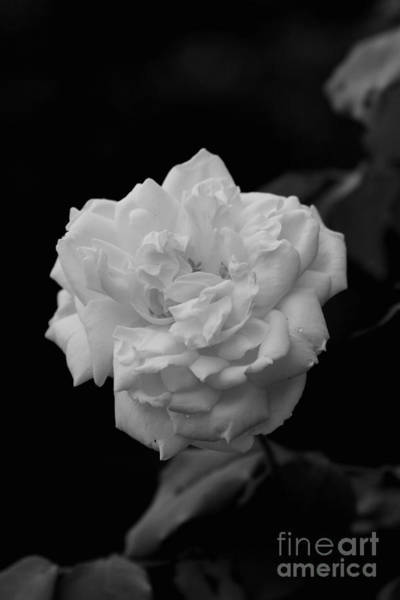 Photograph - Black And White Rose by Reid Callaway