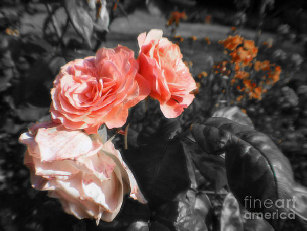 Photograph - Black And White Roses by Doc Braham