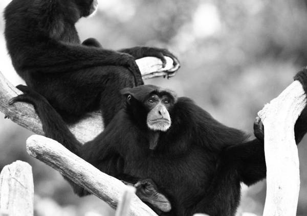 Photograph - Black And White Siamang by Dan Sproul