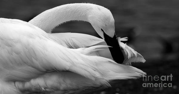 Photograph - Black And White Trumpeter Swan by Sue Harper