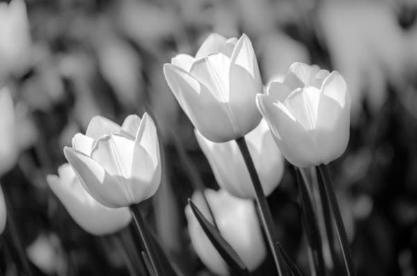 Photograph - Black And White Tulips by Michael Arend
