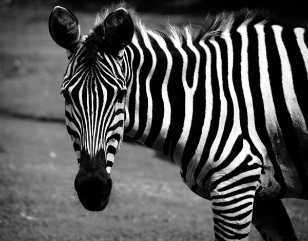 Photograph - Black And White Zebra by Maggy Marsh