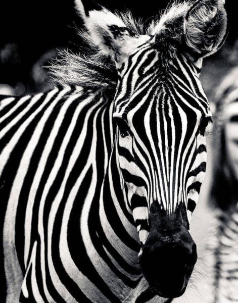 Photograph - Black And White Zebra Portrait by Maggy Marsh