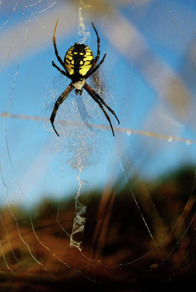 Spiderweb Photograph - Black-and-yellow Argiope Spider Argiope by Animal Images