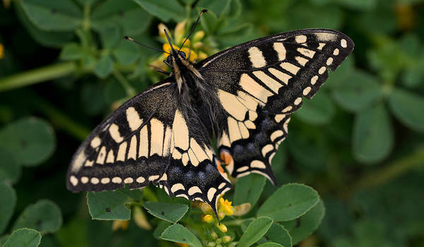 Photograph - Black And Yellow Butterfly by Jaroslaw Blaminsky