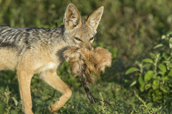 Back In The Day Photograph - Black-backed Jackal Canis Mesomelas by Animal Images