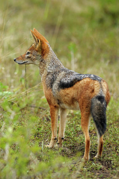 Back In The Day Photograph - Black Backed Jackal Standing Alert by Emil Von Maltitz