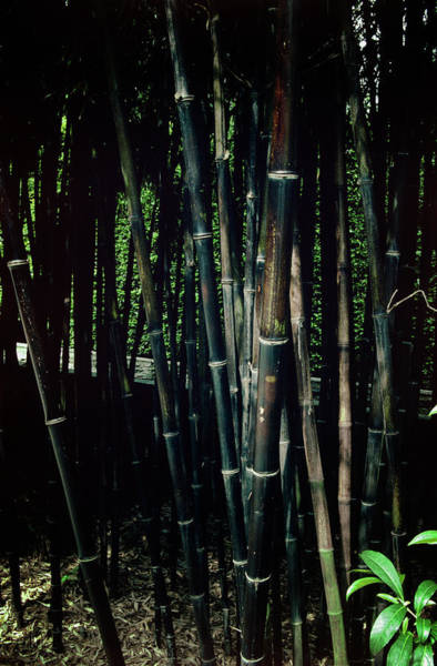 Bamboo Photograph - Black Bamboo by Archie Young/science Photo Library