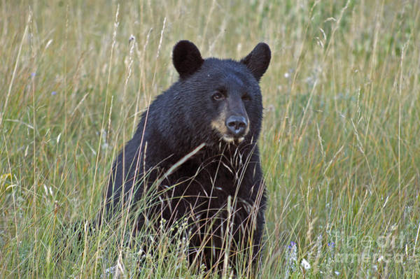 Photograph - Black Bear  - Near Glacier by Cindy Murphy - NightVisions