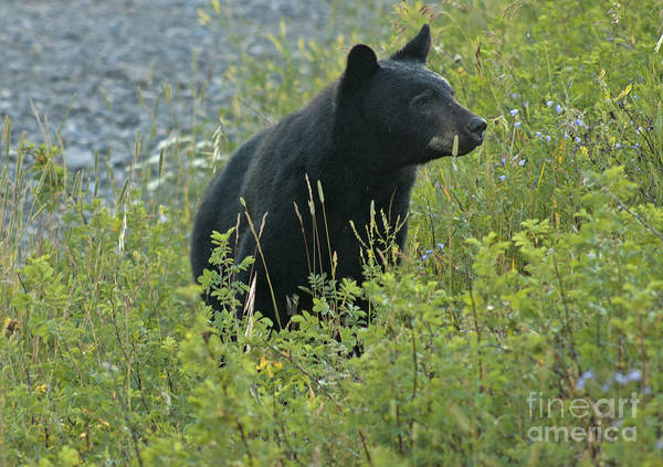 Photograph - Black Bear by Cindy Murphy - NightVisions