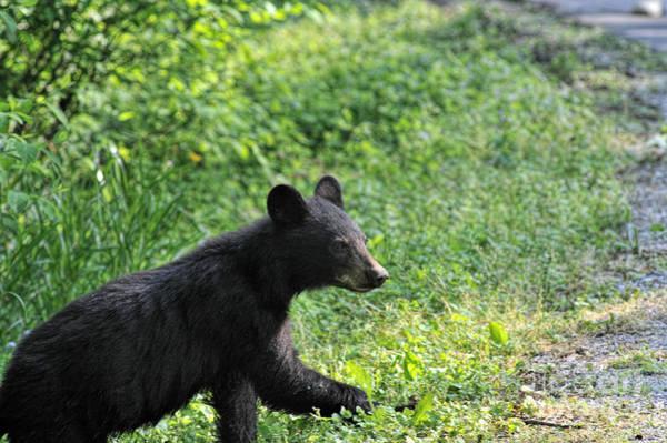 Photograph - Black Bear Crossing Road by Dan Friend