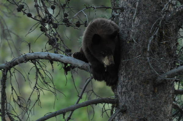 Black Bear Cub In Tree Art Print