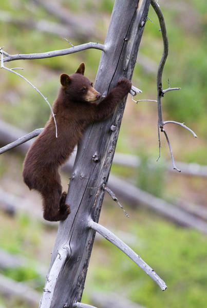 Born In The Usa Photograph - Black Bear Cub In Tree by Mark Miller Photos