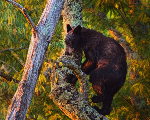 Photograph - Black Bear Cub In Tree by Mary Almond