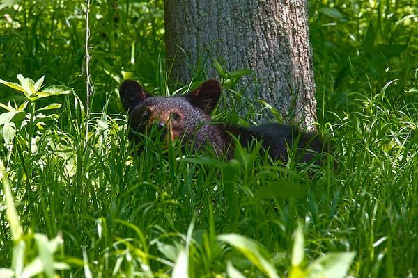 Photograph - Black Bear Cub by Mary Almond