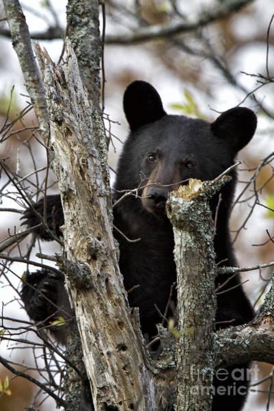 Photograph - Black Bear Cub by Ronald Lutz