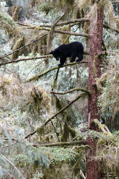 Wall Art - Photograph - Black Bear Cub Up A Tree For Protection by Chip Porter