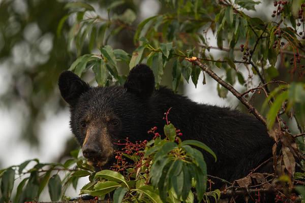 Photograph - Black Bear by Doug McPherson