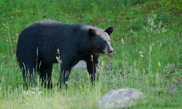 Photograph - Black Bear Female by Brenda Jacobs