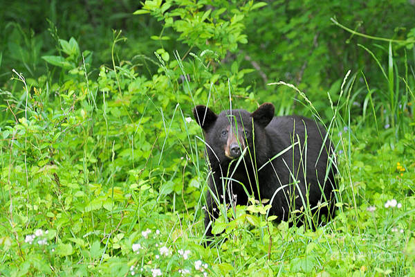 Photograph - Black Bear In Weeds by Dan Friend